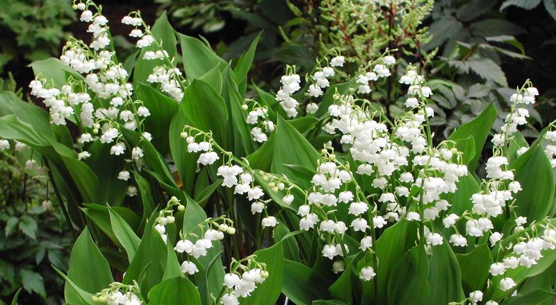Ландыши (фото) — выращивание, посадка и уход, Сайт о саде, даче и комнатных растениях 320