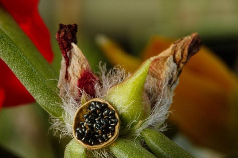 Портулак выращивание - фото сбора урожая семян
