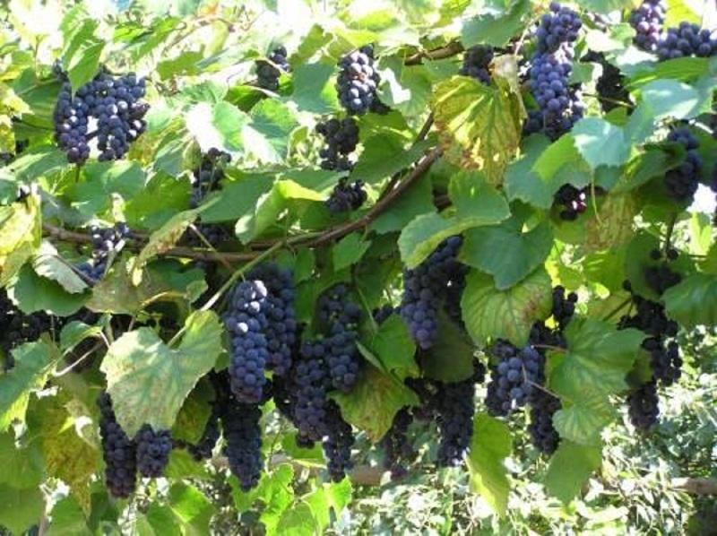 Как вырастить виноград из косточки правильно