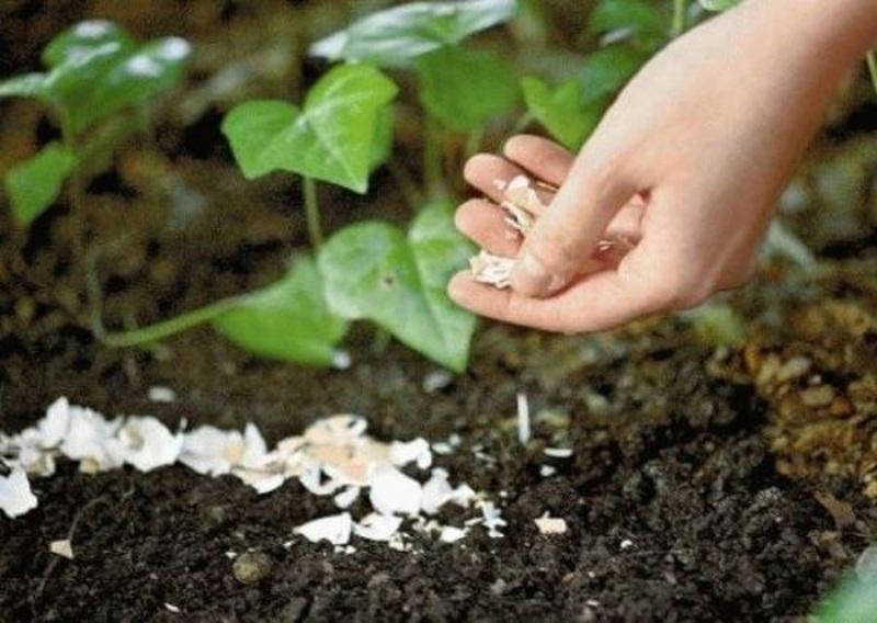 Как вывести с огорода слизней при помощи мульчирования