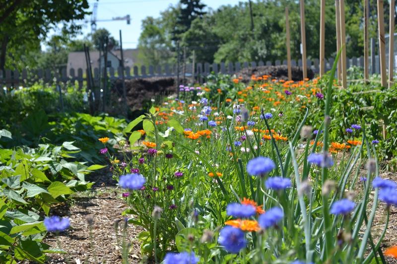 Календула разнообразит и украсит овощные грядки, а также поможет отогнать вредителей