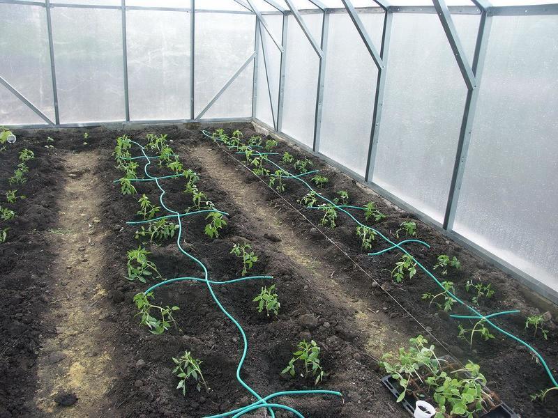 Капельный полив помидорной рассады