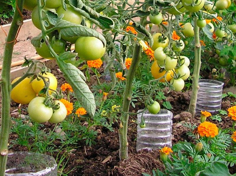 уход за томатами во время цветения и плодоношения в открытом грунте