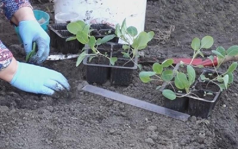 Пересадка брюссельской капусты в открытый грунт