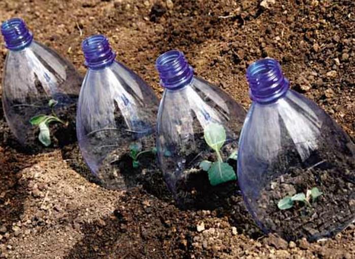 Уход за капустой после высаживания - подкормка и защита от насекомых
