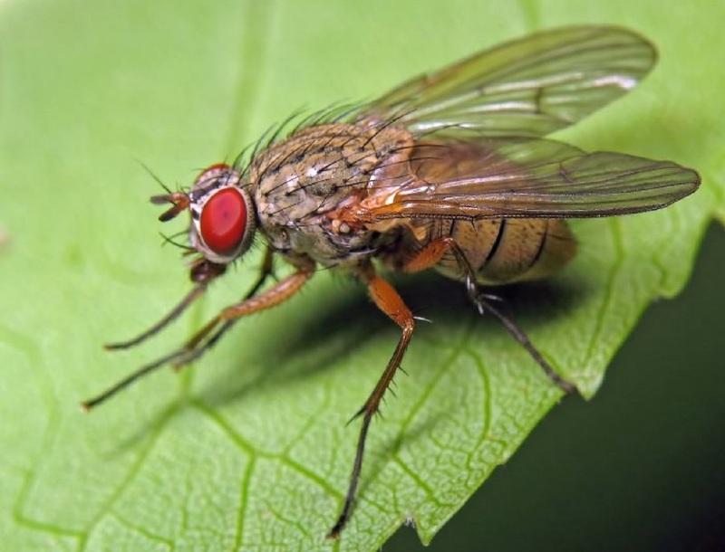 Капустная муха - опасный вредитель для цветной и белокочанной капусты