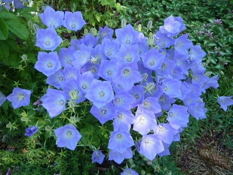 Карпатский колокольчик - яркий и неприхотливый цветок
