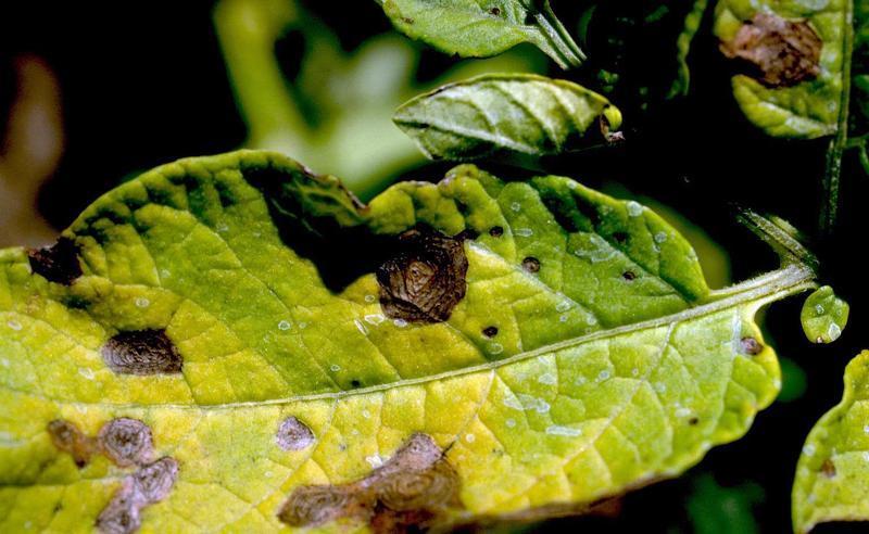 Картофель - болезни ботвы, фото Альтернариоза