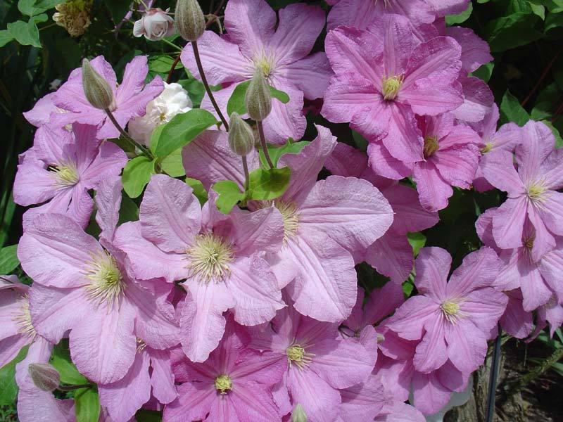Клематис Комтес де Бушо очень популярен благодаря нежным розовым цветкам