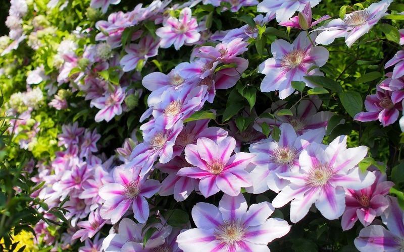 Клематис является одним из самых красивых вьющихся цветков
