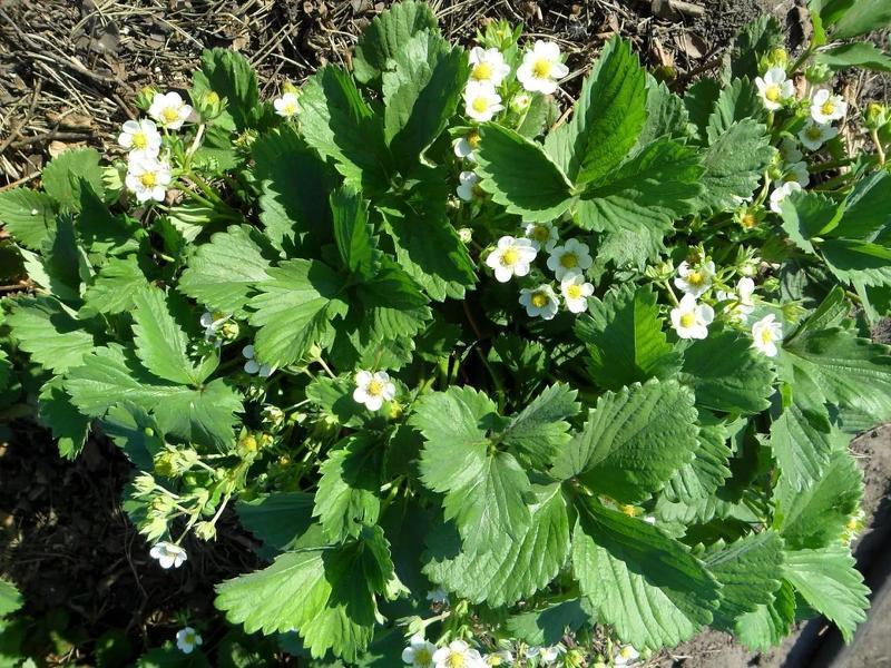 Клубника Альбион во время цветения