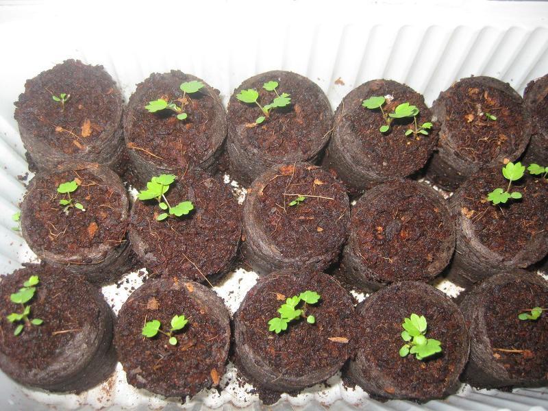 Клубника Лизонька выращивание из семян