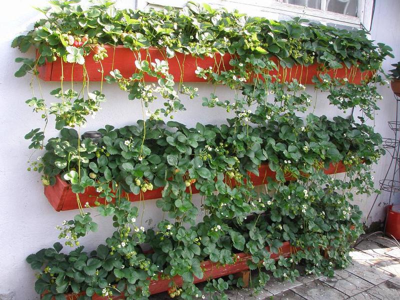 Выращивание клубники Медовое лето на стеллажах