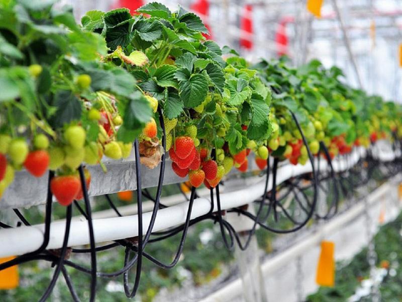 Гидропоника для клубники — технология взращивания растений в домашних условиях