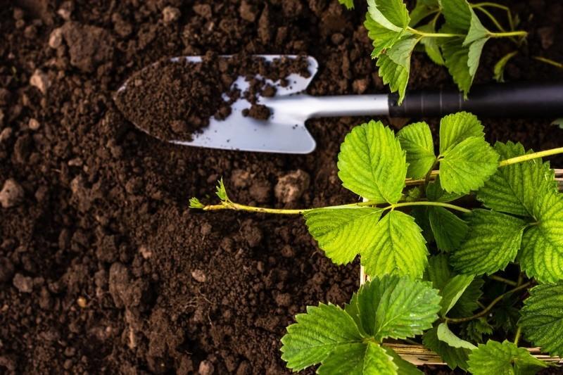 Землянику Вима Рина обязательно подкармливают при высаживаниии в открытый грунт
