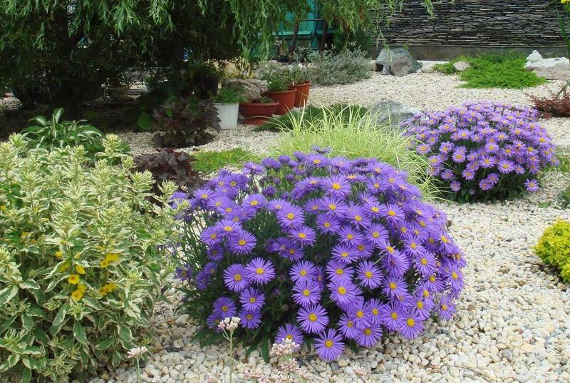 Астры - самые непривередливые цветы в саду