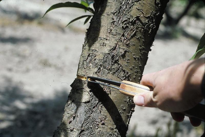 Кольцевание ветвей дерева, чтобы заставить его плодоносить