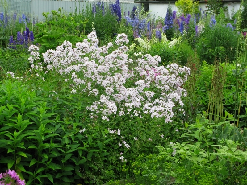 Колокольчик молочноцветковый Loddon Anne