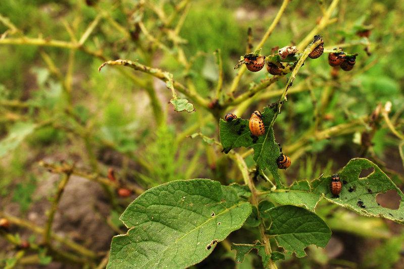 Колорадский жук может полностью уничтожить урожай картофеля