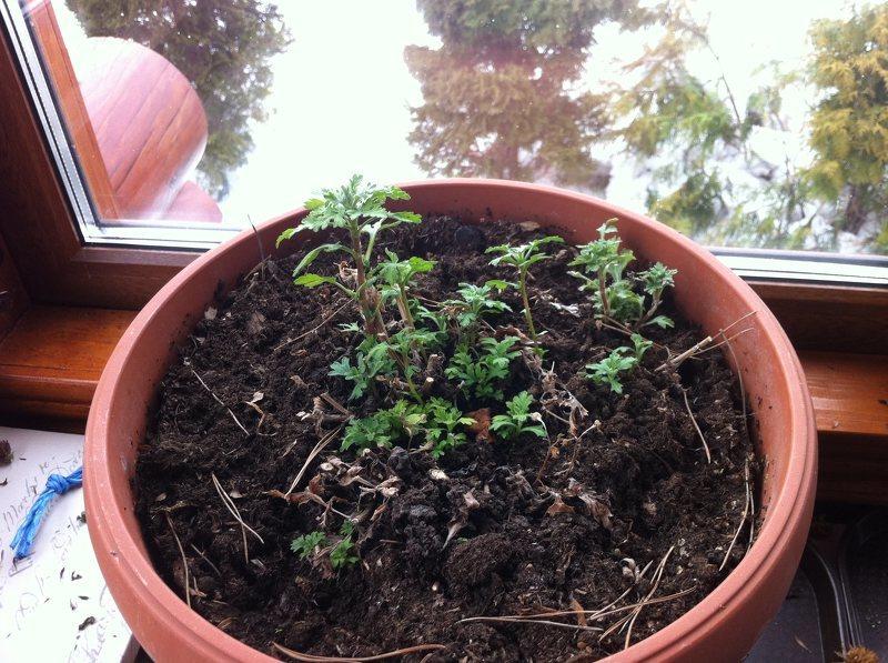 Комнатная хризантема - особенности выращивания