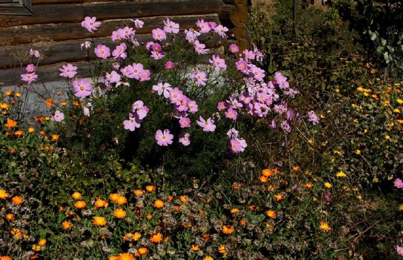 Космея ценится за простоту цветка и используется в пейзажном или природном дизайне