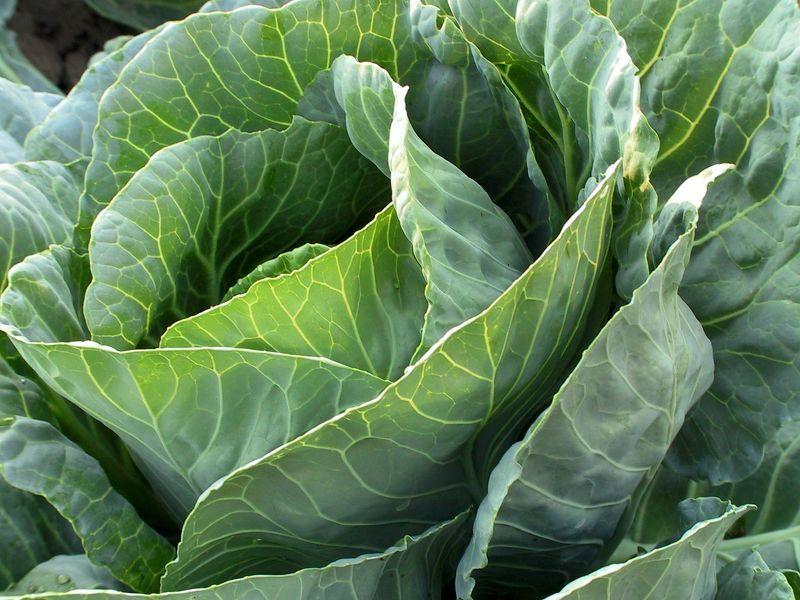 Выращиваем крепкую и здоровую капусту в открытом грунте
