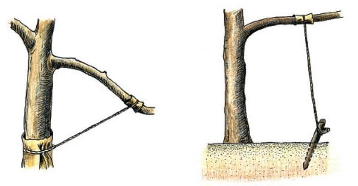 Схема горизонтального крепления ветвей дерева