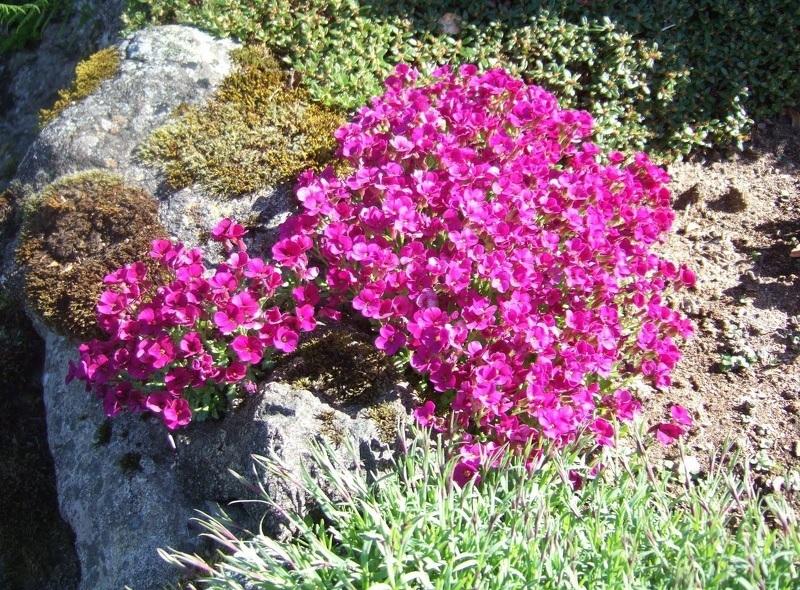 Крупноцветковый лен для мавританского газона