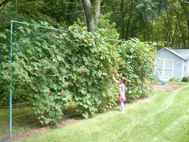 Кустовой способ выращивания малины