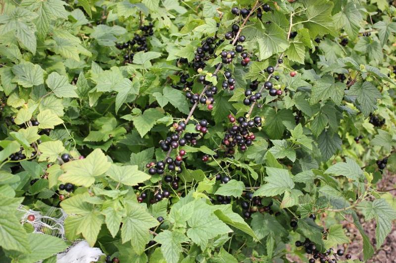 Кусты раннеспелой черной смородины