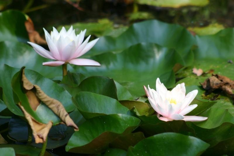 Кувшинка гибридная украсит пруд цветами во второй половине лета