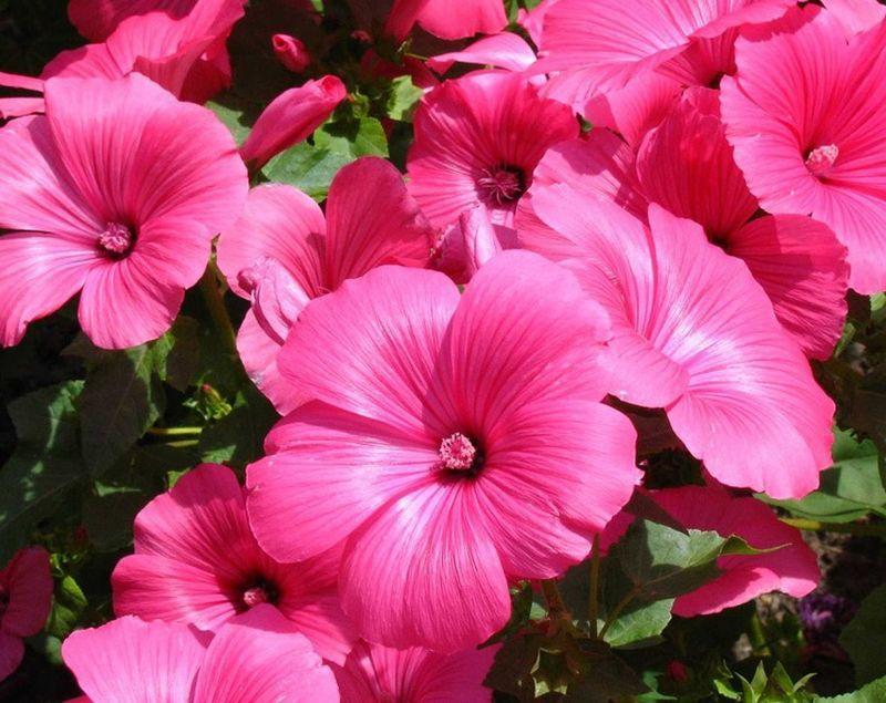 Лаватера - дикая роза, которая великолепно цветет без особого ухода