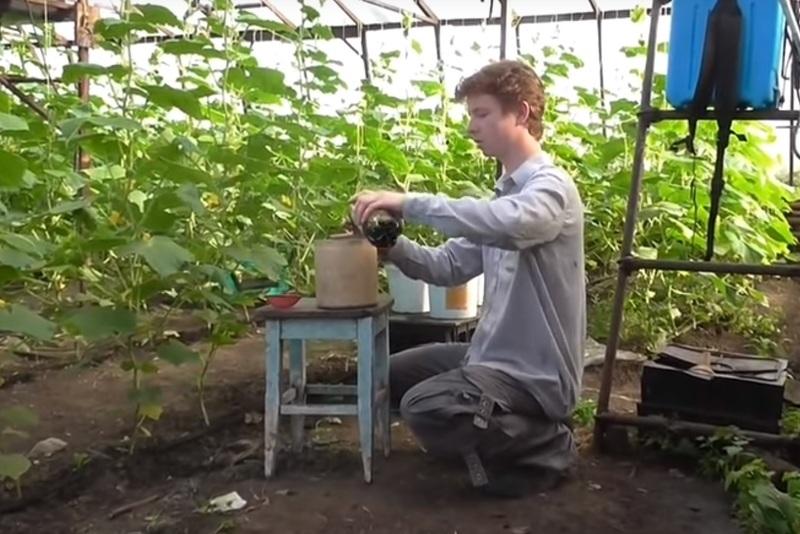 Приготовление раствора и лечение огурцов зеленкой