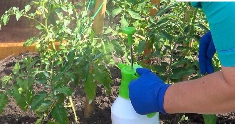 Лечение вершинной гнили томатов опрыскиванием кальциевой селитрой