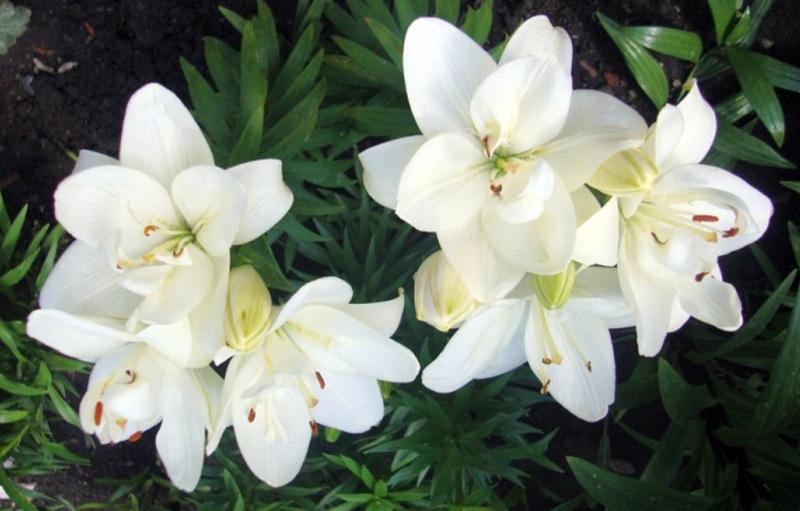Белая лилия комнатный цветок 18