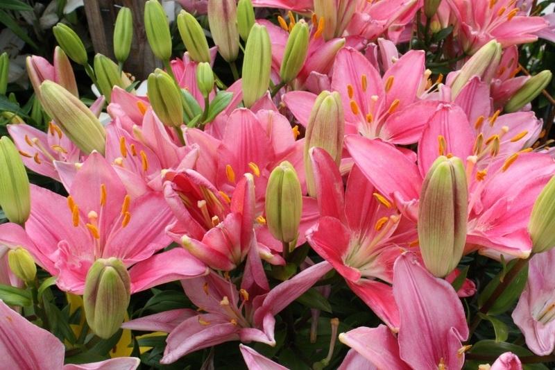 Садовые лилии - сорта с фото и названиями