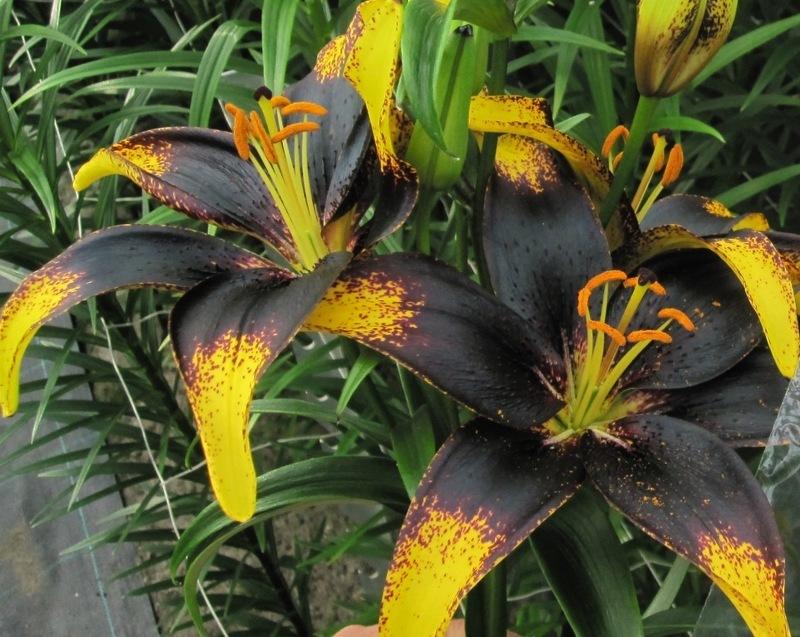 Садовые лилии фото и названия
