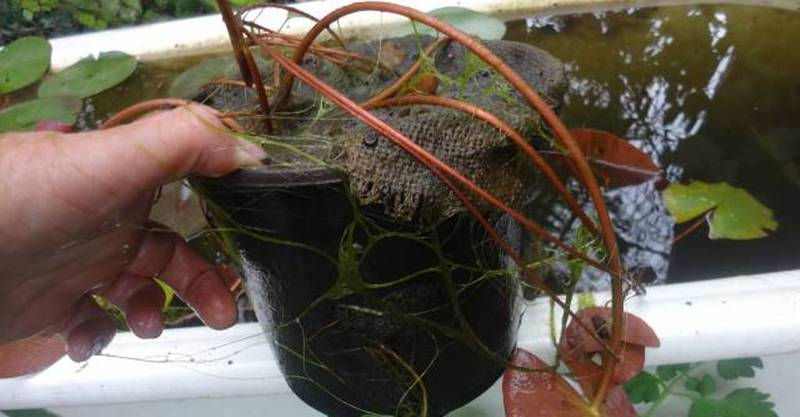 Водяную лилию в контейнере можно сразу разместить в водоеме