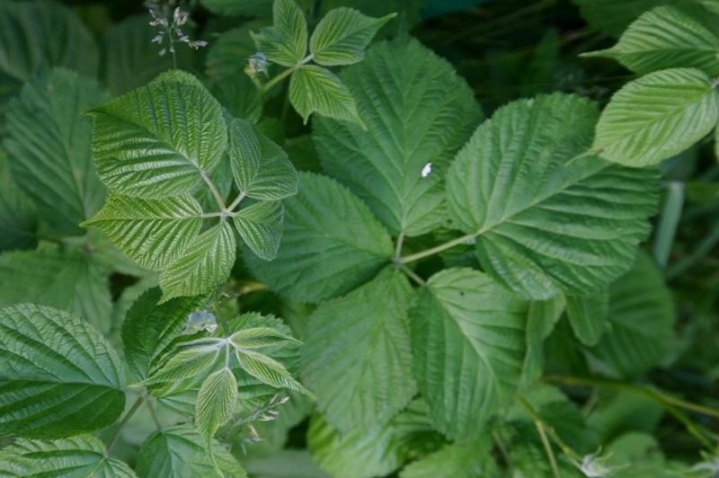Ежевика полезные свойства листьев
