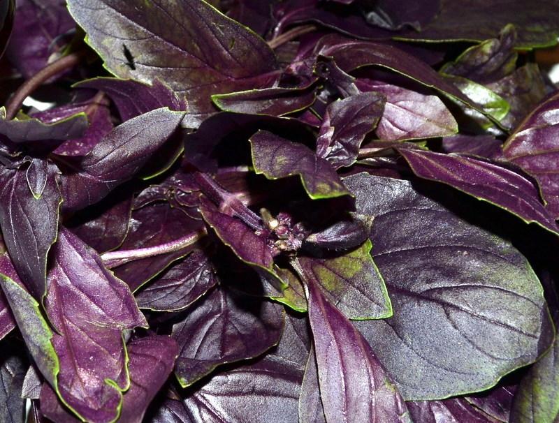 Листья фиолетового базилика вкуснее и нежнее зеленого