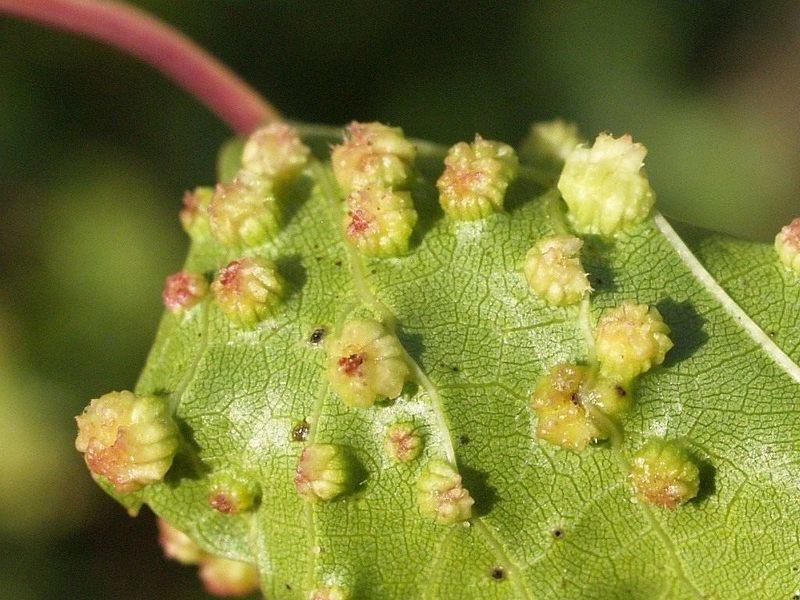 Листья винограда пораженные филлоксерой