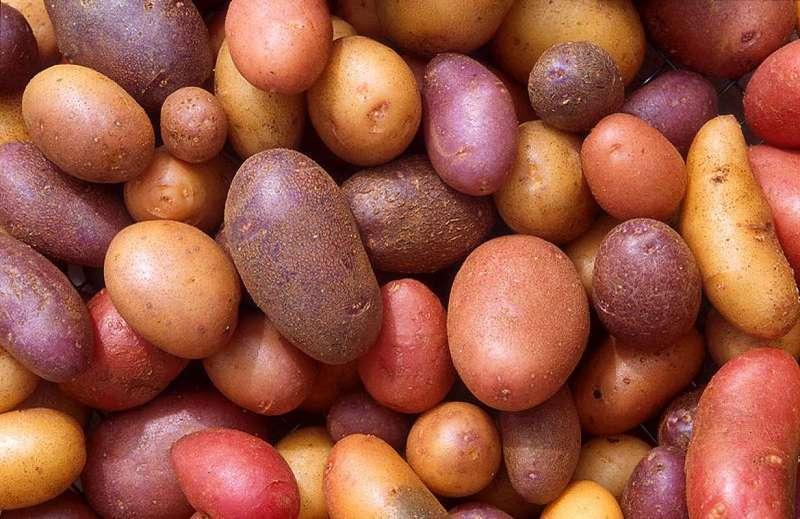Описание и характеристики лучших сортов картофеля