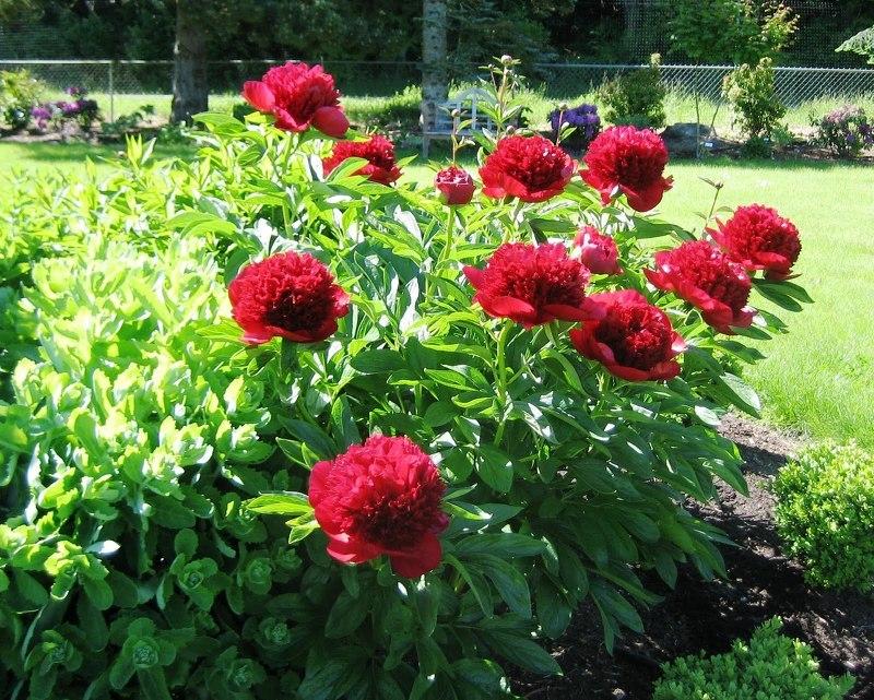 Махровые бутоны пионов выращивают не только в саду, но и на террасах