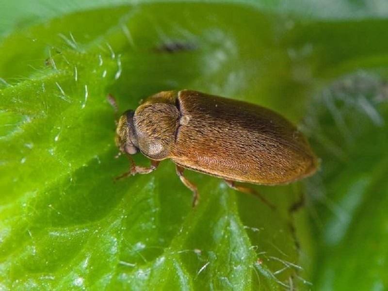 Избавляемся от малинного жука с помощью соды