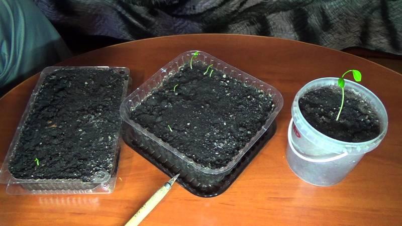 Мандариновое дерево в домашних условиях: как посадить
