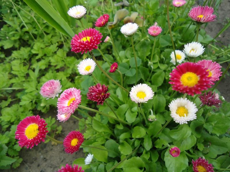 Маргаритки цветут с ранней весны до поздней осени