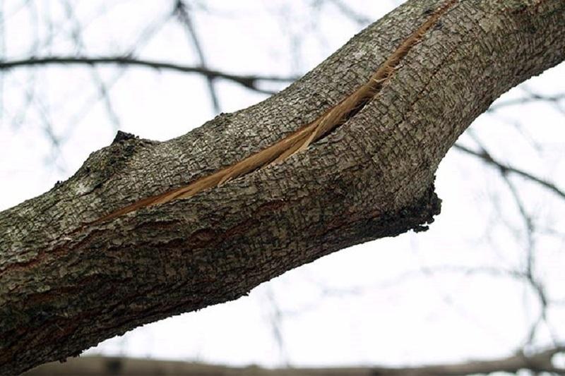 Морозобоины на ветках плодовых деревьев