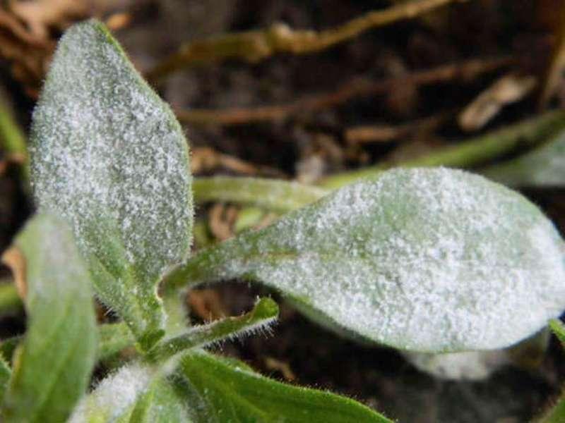 Мучнистая роса - грибковые болезни петунии фото