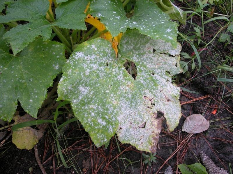 Мучнистая роса на листьях кабачков