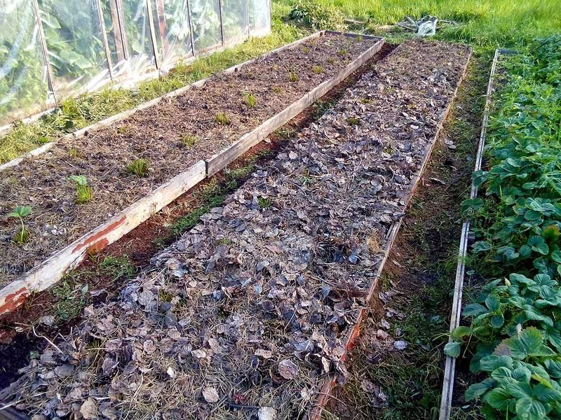 Изображение - Выращивание клубники mulchirovanie-klubniki-suhimi-listyami-na-zimu